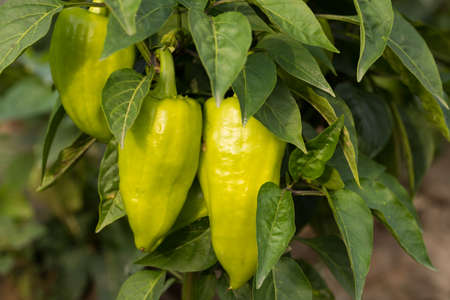 Pepper. Green Plant Fruit Peppers With Leaves Growing On Farm Or Garden Summer Close Up.