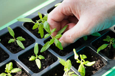 Close Up Of Farmer Hand Holding Small Green Sprout Seedling Of Tomato Growing In Seedling Tray In Spring.