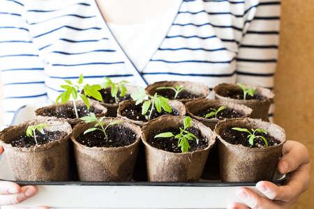 Nuovi germogli di pomodori con foglie da terra in vasi di torba sulla scatola sulle mani femminili da vicino.