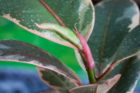 Beautiful Plant Of Ficus Elastica Ruby Branch And Colorful Leaves With Drops Close Up.
