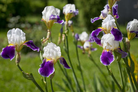 Beautiful Plants Flowers Of Iris (Iris Germanica) White And Violet Colors Growing In Flower Bed In Garden In Sunny Day In Summer.