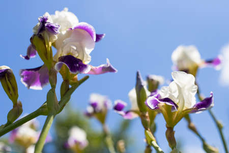 Beautiful Blossoming Plants Flowers Of Iris (Iris Germanica) On Blue Background Of Sky In Sunny Garden In Summer.