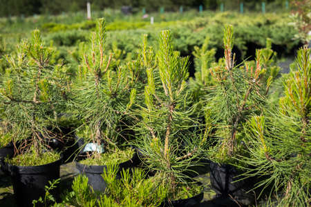 Seedlings Of Pine -Tree (Pinus Sylvestris) With Young Shoots In Pots Growing In Coniferous Cattery In Sunny Day In Summer.