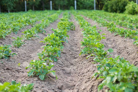 Green Plants With Leaves Of Potatoes Growing On Potato Field In Village In Summertime. Stok Fotoğraf