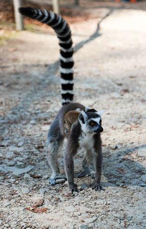 A sad lonely Ring-tailed lemur (Lemur catta) is walking