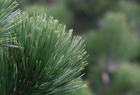 Closeup of green needles, pine branches or Christmas tree. Background green out of focus. Idea for background, texture, cover, postcard