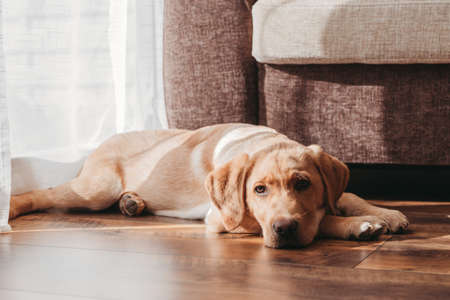A beige labrador retriever puppy lies on the floor next to the chair. Adorable pets. Keeping and caring for animals at home