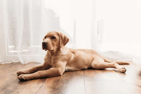 A four-month-old puppy of a fawn Labrador retriever lies at home on the floor. Maintenance and care of pets. Dogs are friends and faithful companions of man