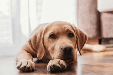 Close-up portrait of a beige labrador retriever puppy at home. The dog lies on the floor and rested its head on its paws. Authentic photos from life