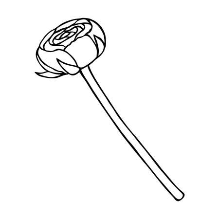 BLOOMING BUTTERCUP ON A WHITE BACKGROUND IN VECTOR Stock Illustratie
