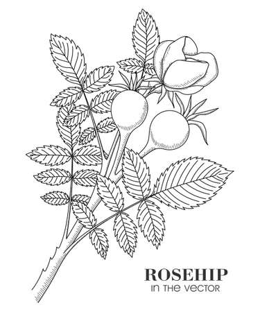 MEDICINAL PLANT ROSEHIP ON A WHITE BACKGROUND IN VECTOR Vector Illustration