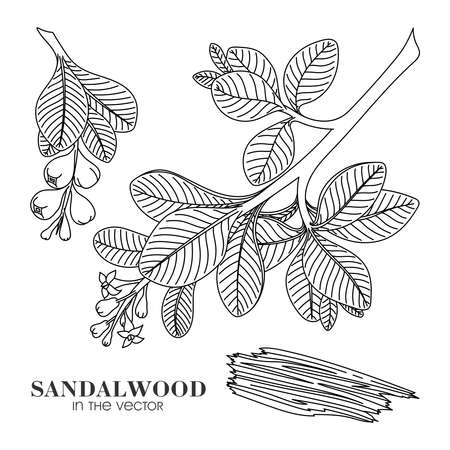 CONTOUR DRAWING OF SANDALWOOD ON A WHITE BACKGROUND IN A VECTOR