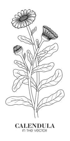 Medical plant of calendula on a white background in a vector
