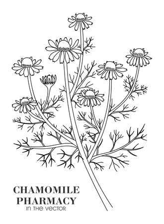 Medicinal plant of chamomile pharmacy on a white background in a vector