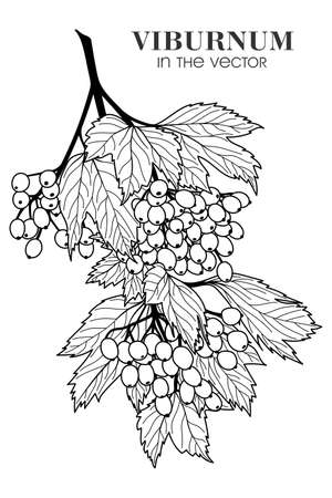 Medicinal plant viburnum on a white background in a vector Stock Illustratie