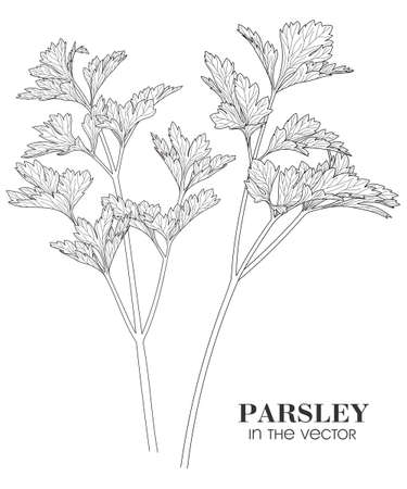 Medicinal plant parsley on a white background in a vector