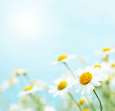 Daisies in the morning. photo