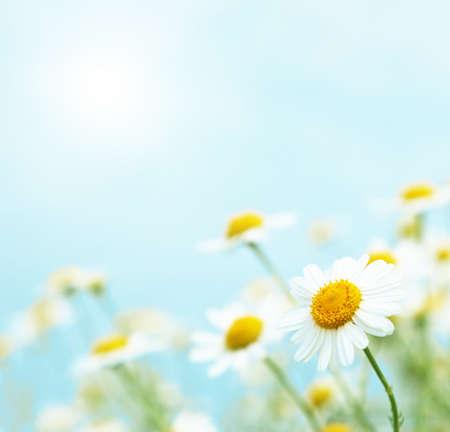les fleur: Marguerites dans la matinée.