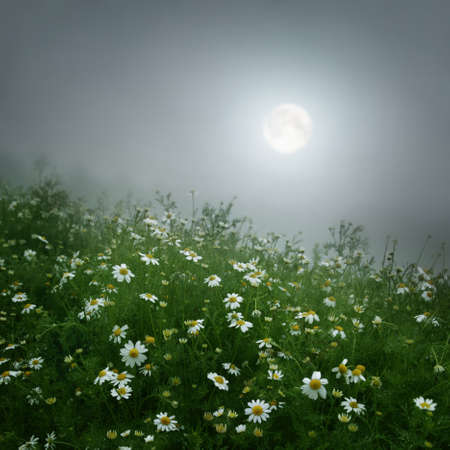 Daisy field under full moon.