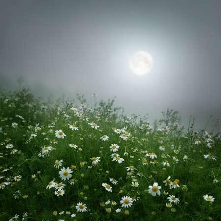 in full bloom: Daisy field under full moon.