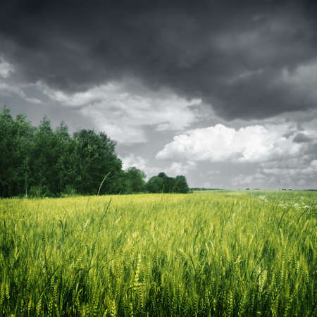 natural  moody: Wheat field over dark moody sky.