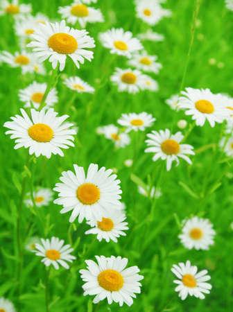 Field of white daisies.  photo