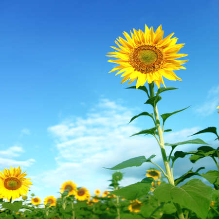 Sunflower field under blue sky.  photo
