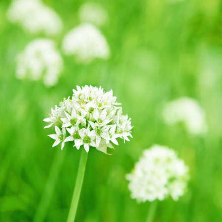 Flowers of allium.  photo