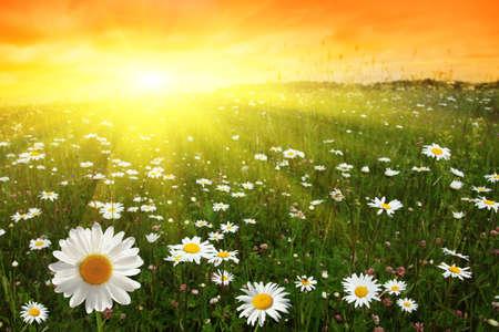 wildblumen: Blumen-Feld und Sonnenuntergang.