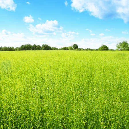field of daisies: Landscape with green field and blue sky.