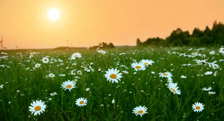 Sunrise and daisy field.  photo