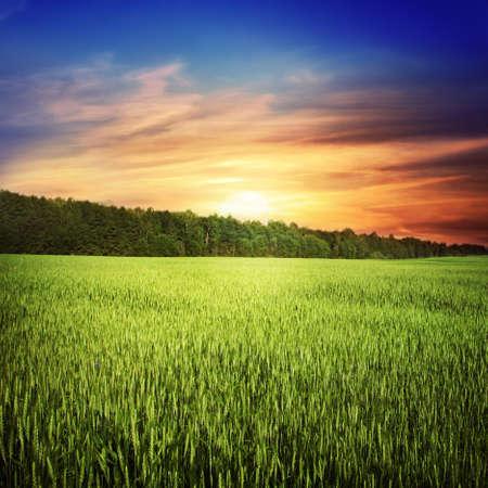 corn fields: Sunset over wheat field.