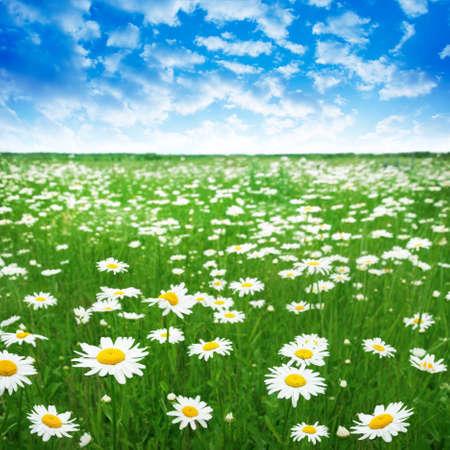 Daisy field and blue sky.  photo