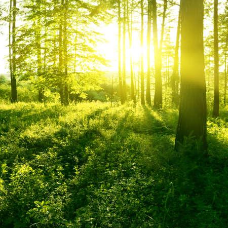 arboles frondosos: La luz del sol en el bosque.