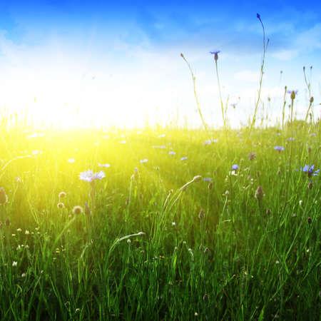 yellow wildflowers: Blue cornflowers,wheat field and sun.