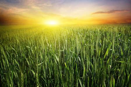 cultivo de trigo: Puesta de sol brillante sobre el campo de trigo.