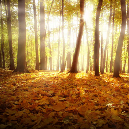 Sunlight and autumn forest. photo