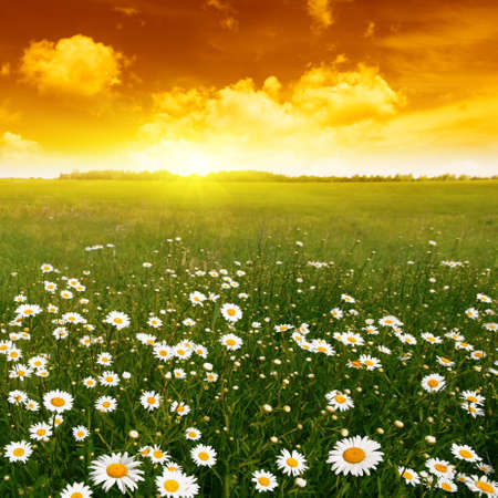 Field of daisies and red sunset. Stock Photo - 11646040