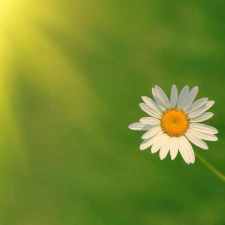White daisy and sun. photo