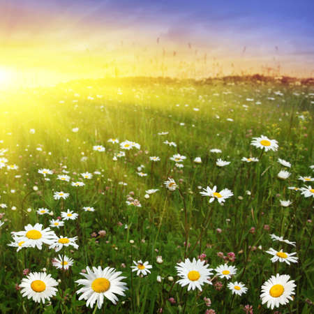 Flower field at sunset. Stock Photo - 11646039