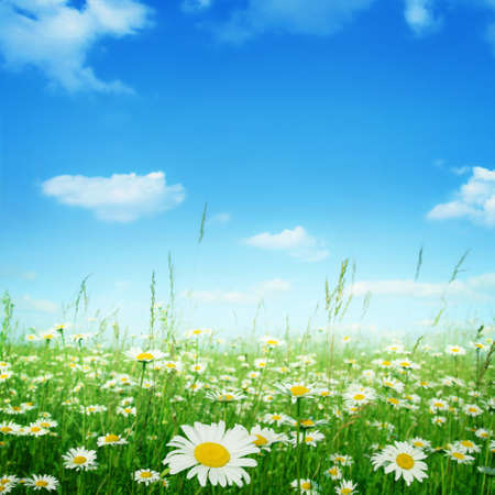 Daisy field under blue sky.  Stock Photo