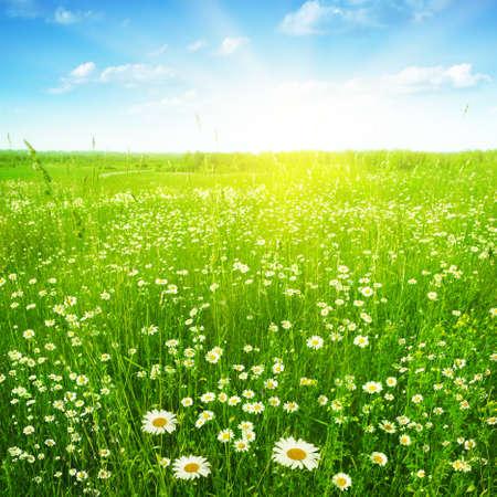 Daisy field under sunlight.  Stock Photo - 11695007