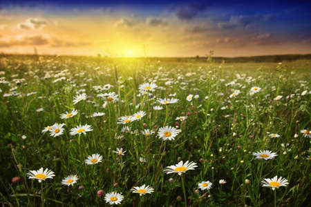 White daisies in meadow and beautiful sunset. Stock Photo - 11816680