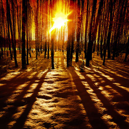 night scenery: Last rays of the sun in winter forest.