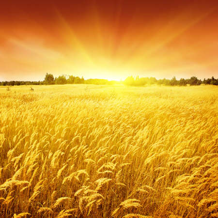 Sunset and field of yellow grass. Stock Photo