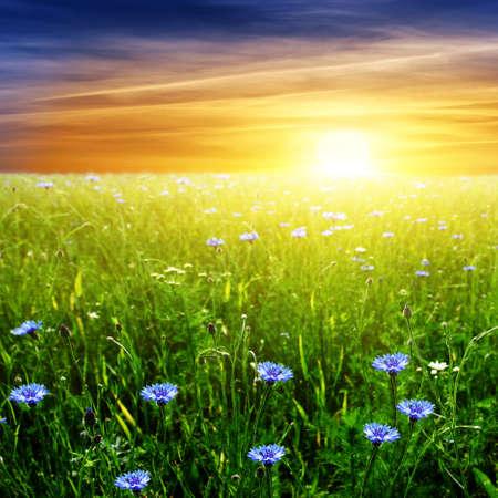 yellow wildflowers: Sunset over field.