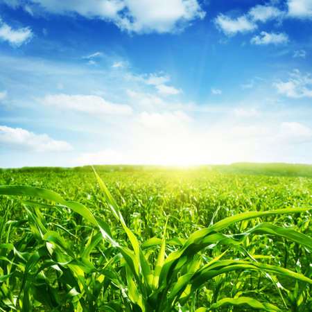Green corn field,blue sky and sun on summer day