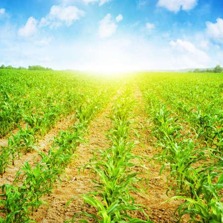 Campo di mais giovane, cielo azzurro e sole Archivio Fotografico