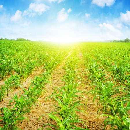 Young corn field,blue sky and sunlight