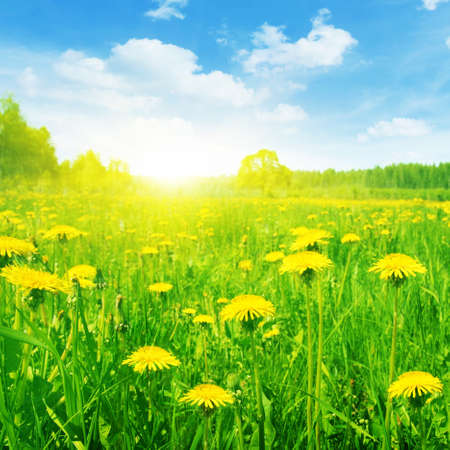 spring season: Spring field of dandelions on bright sunny day  Stock Photo
